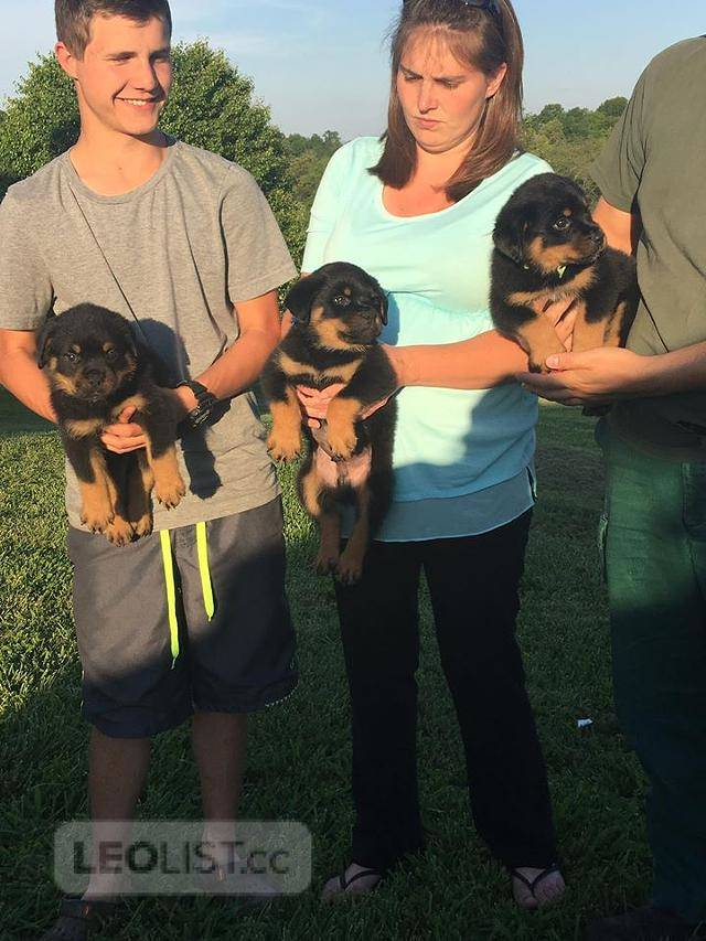 $400 German Rottweiler Puppies For Sale 50% NOW!!!